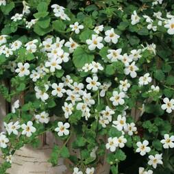 Bacopa cordata 'Snowtopia White'