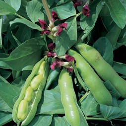 Broad Bean 'Crimson Flowered'