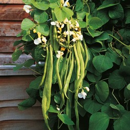 Runner Bean 'Desiree'