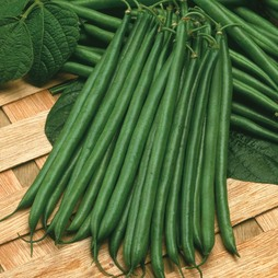 Dwarf Bean 'Boston' (Start-A-Garden? Range)