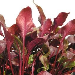 Beet 'Bull's Blood' (Salad Leaves)