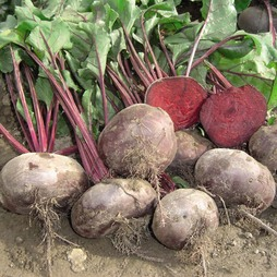 Beetroot 'Kahira' (Egyptian Flat Rooted) - Heritage