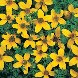 Bidens ferulifolia 'Golden Eye'