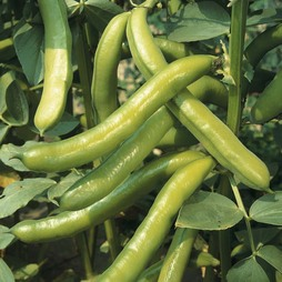 Broad Bean 'Imperial Green Longpod'