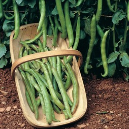 Broad Bean 'Dreadnought' - Heritage