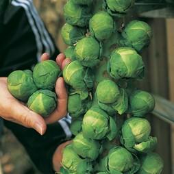 Brussels Sprout 'Trafalgar' F1 Hybrid