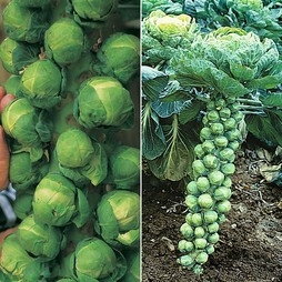 Brussels Sprout 'Full Season Collection'