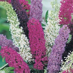 Buddleja davidii (Mixed)