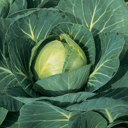 Cabbage 'Minicole' F1 Hybrid (Autumn)
