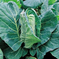 Cabbage 'Greyhound' (Summer/Autumn )