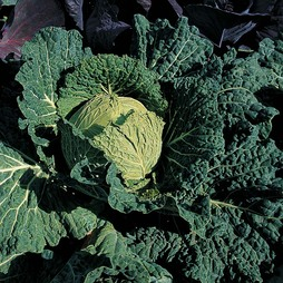Cabbage 'Savoy King' F1 Hybrid (Summer/Autumn Savoy)