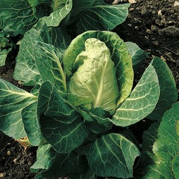 Cabbage 'April' (Spring)