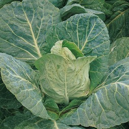 Cabbage 'Durham Early' (Spring)