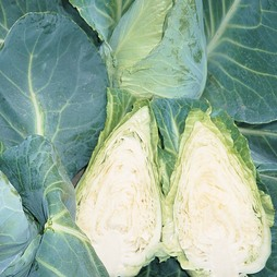 Cabbage 'Caramba' F1 Hybrid (Summer/ Winter Sweetheart Type)