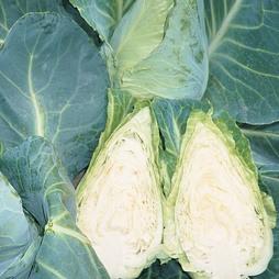 Cabbage 'Caramba' F1 Hybrid (Summer/ Winter Sweetheart Type)
