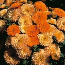 Calendula officinalis nana 'Apricots & Oranges'