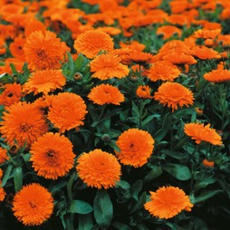 Calendula officinalis 'Candyman Orange'