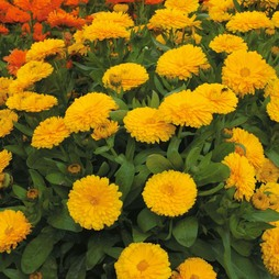 Calendula officinalis nana 'Candyman Yellow'