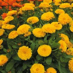 Calendula officinalis nana 'Candyman Yellow'