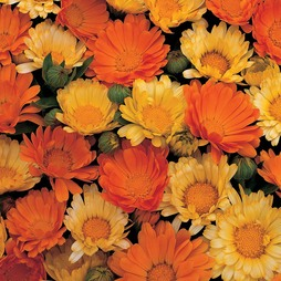 Calendula officinalis nana 'Citrus Cocktail'