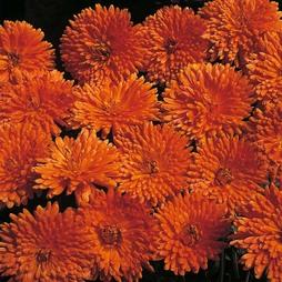 Calendula officinalis 'Porcupine'