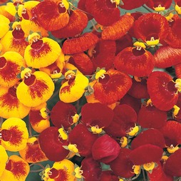 Calceolaria 'Sunset Mixed'