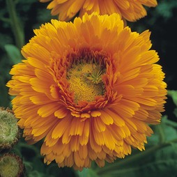 Calendula officinalis 'Greenheart Orange'