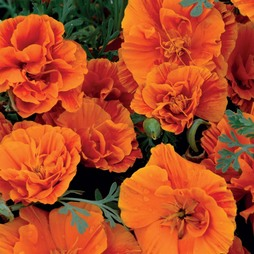 Californian Poppy 'Rosebud Orange'