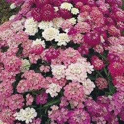 Candytuft 'Dwarf Fairyland Mixed'