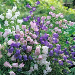 Campanula medium (Mixed)