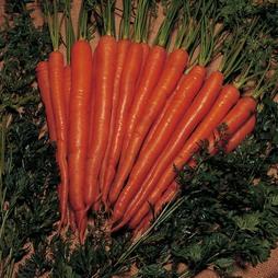 Carrot 'Sugarsnax 54' F1 Hybrid