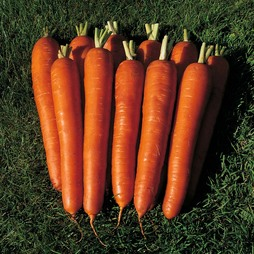 Carrot 'Bangor' F1 Hybrid - RHS endorsed vegetable seeds