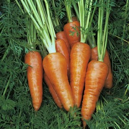Carrot 'Chantenay Red Cored 3 - Supreme'