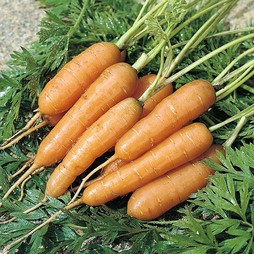 Carrot 'Adelaide' F1 Hybrid - RHS endorsed vegetable seeds