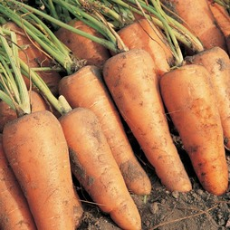 Carrot 'Royal Chantenay' - Heritage