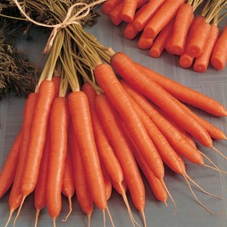 Carrot 'Amsterdam Forcing'