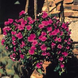 Catharanthus roseus 'Mediterranean Lilac'