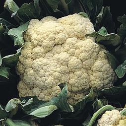 Cauliflower 'All The Year Round' (Spring/ Summer/Autumn)