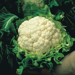 Cauliflower 'Walcheren Winter Pilgrim' (Spring)