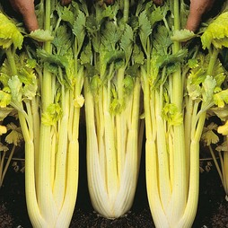 Celery Lathom Blanching Galaxy