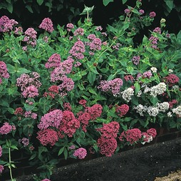 Centranthus 'Star Ruber Mixed'