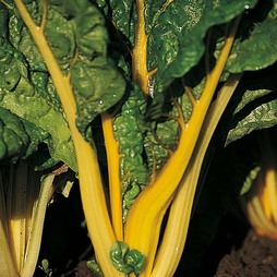 Swiss Chard 'Bright Yellow'