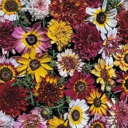 Chrysanthemum carinatum 'Summer Festival'