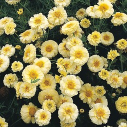 Chrysanthemum coronarium 'Primrose Gem'