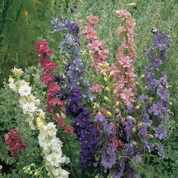 Larkspur 'T&M Improved'