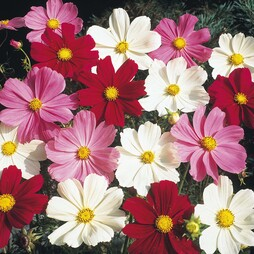 Cosmos bipinnatus 'Gazebo Mixed'