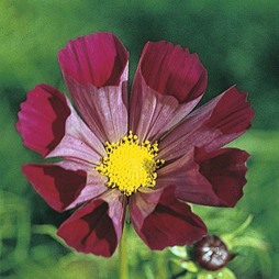 Cosmos bipinnatus 'Pied Piper Red'