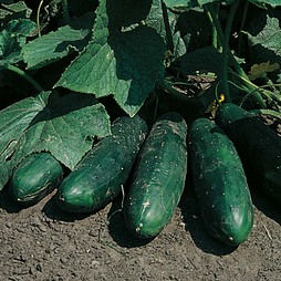 Cucumber 'Masterpiece'