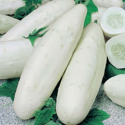 Cucumber 'Long White'