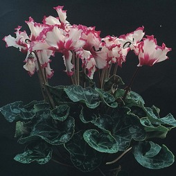 Cyclamen persicum grandiflorum 'Victoria'